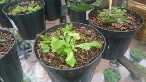 Dionaea Muscipula – Foto: João F. J. de Mira